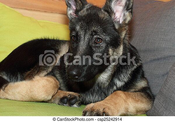 Grown German shepherd puppy