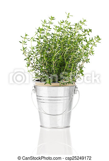 thyme herb plant growing in a distressed pewter pot, isolated ov - csp25249172