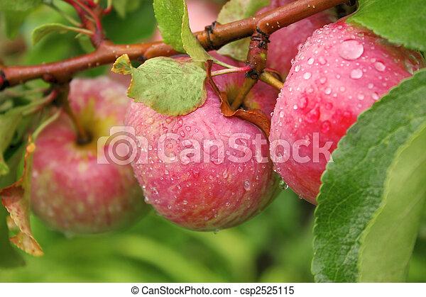 Crop of apples - csp2525115