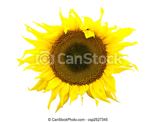 sunflower - csp2527345