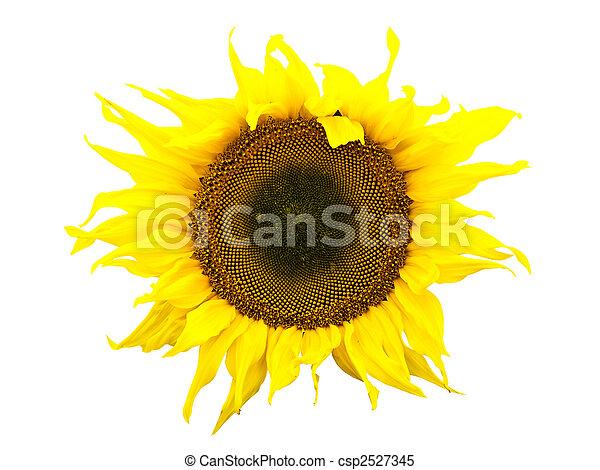 sunflower - csp2527345