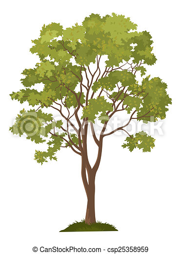 Klon biały drzewo
