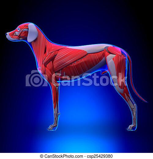 Small Dog Anatomyh