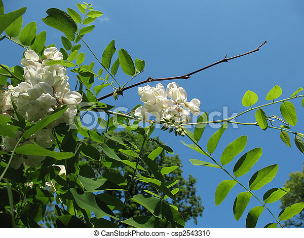 White acacia (Robinia pseudoacacia). Background - csp2543310