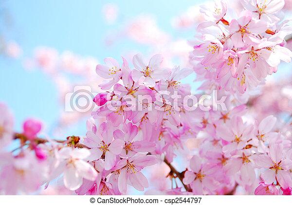 primavera, durante, Flores, cereja - csp2544797
