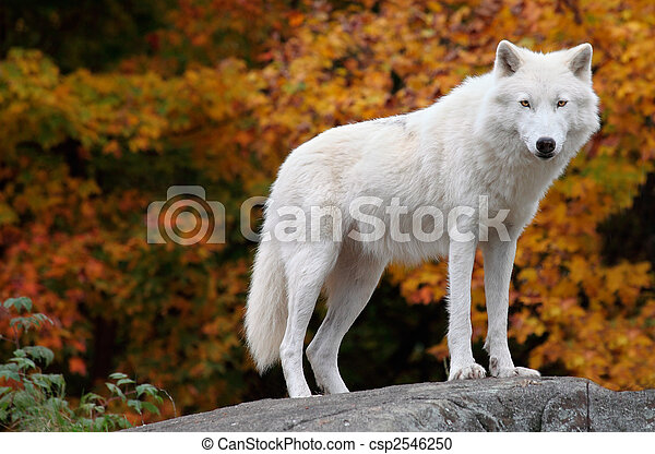 Arctic Wolf Looking at the Camera on a Fall Day - csp2546250