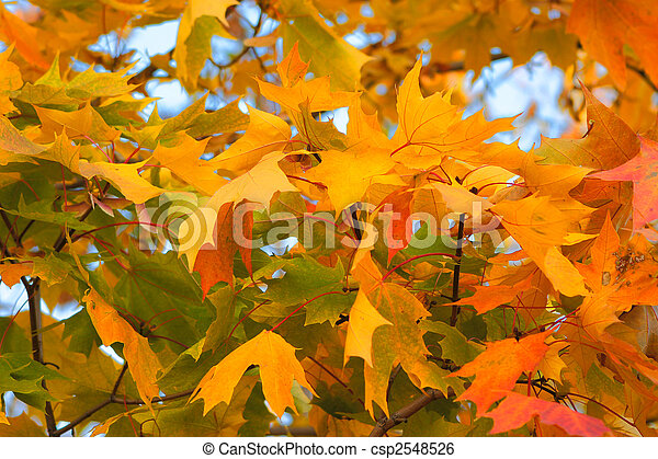 Congestion of autumn maple leaves - csp2548526
