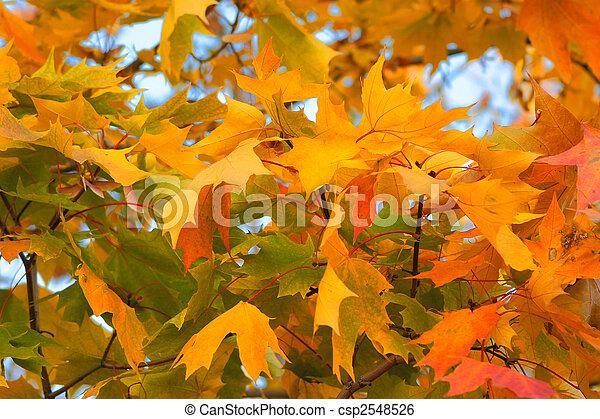 Congestion of autumn maple leaves - csp2548526
