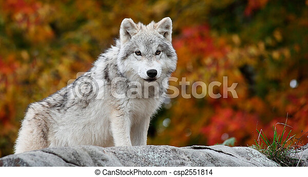 Young Arctic Wolf Looking at the Camera on a Fall Day - csp2551814