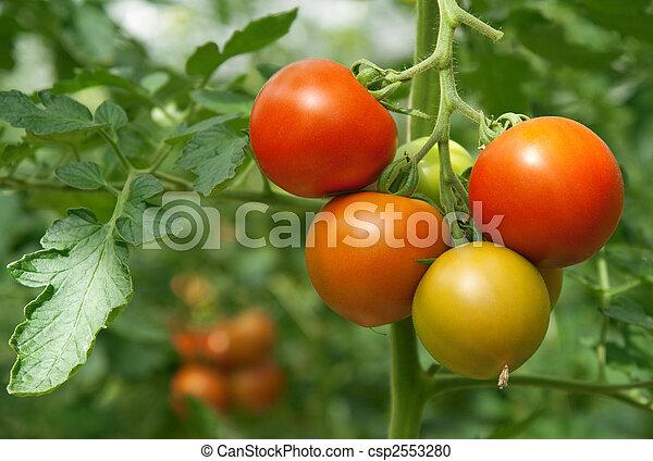 Juicy and fresh tomatoes - csp2553280