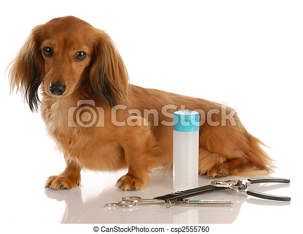 dog grooming - miniature long haired dachshund sitting beside grooming supplies - csp2555760