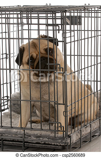 pug in a wire dog crate looking out a viewer - csp2560689
