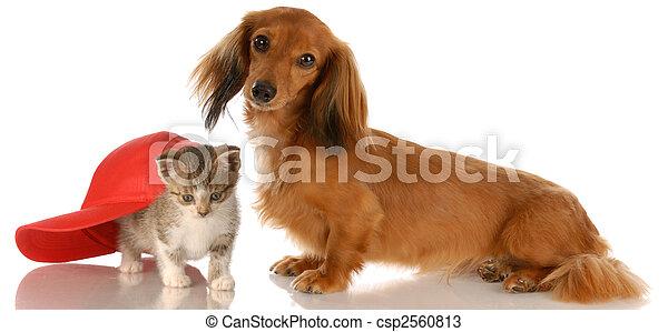 long haired dachshund sitting beside kitten hiding under baseball cap - csp2560813