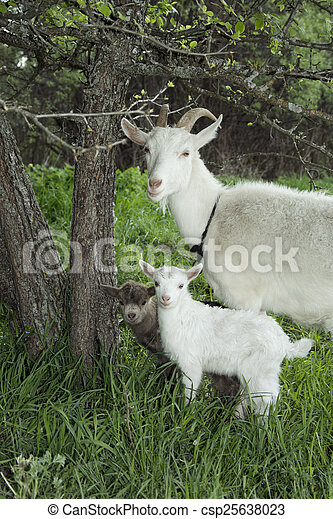 Spring near the bushes stands a goat with two young goats.