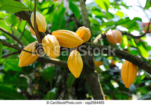Cocoa pods on tree - csp2564465
