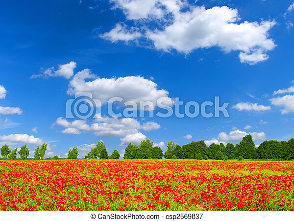red poppies  - csp2569837