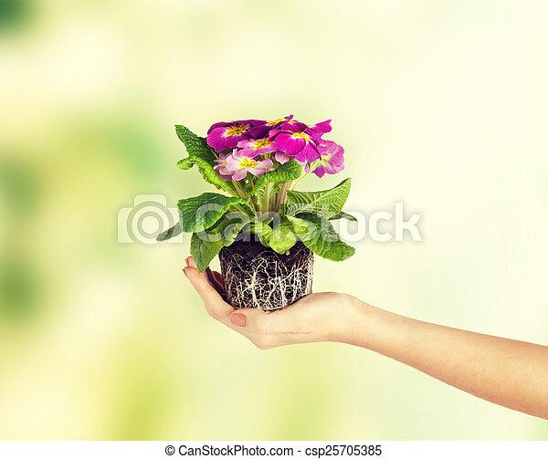 女性, 土壌, 花, 手を持つ - csp25705385