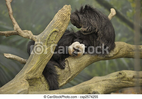two monkeys sitting on limb - csp2574255