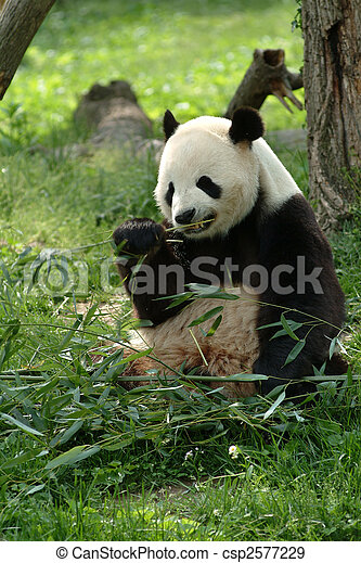 Giant pandas in a field - csp2577229