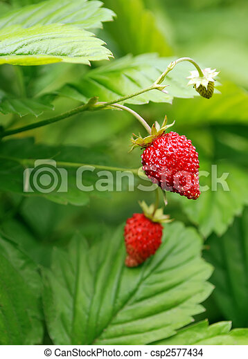bush of strawberries - csp2577434