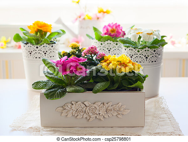 primula flowers in pots