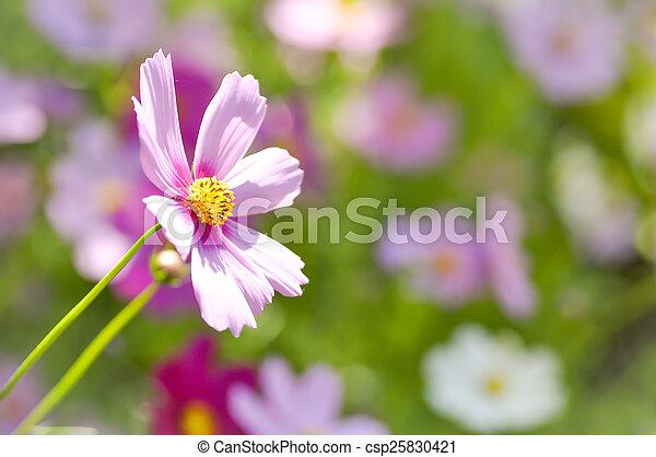 maxican aster flower , cosmos flower
