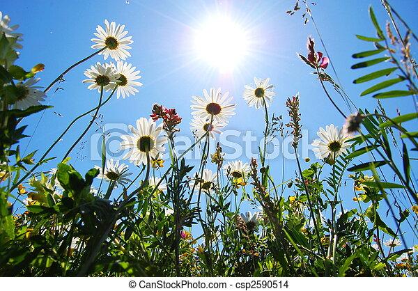 blaues, sommer, blume, himmelsgewölbe, gänseblumen - csp2590514