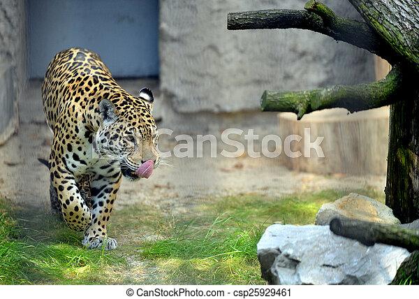 Jaguar in the ZOO