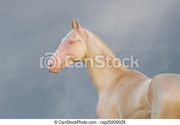 Portrait of perlino Akhal-Teke stallion in field - csp25939028