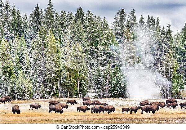 Feeding Bison in Yellowstone\'s Geyser Basin