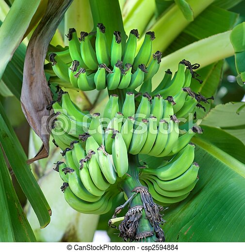 stock photo of green bananas on a banana tree bananas ripening on a csp2594884 search. Black Bedroom Furniture Sets. Home Design Ideas