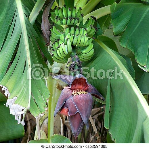 熟す, 木, バナナストックフォト