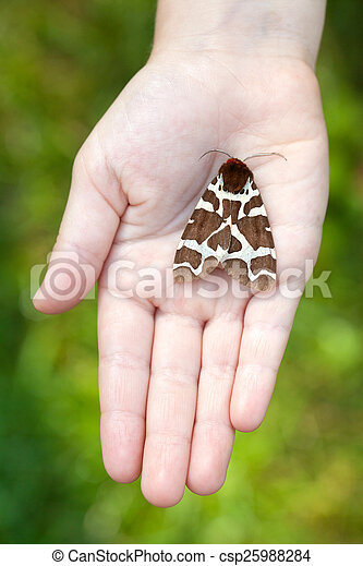 Night butterfly in hands (Arctia caia) Great Tiger Moth night butterfly