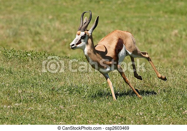 Springbuck Antelope Running - csp2603469