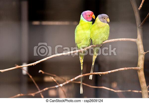 Pair of plum-headed parakeets - csp2609124