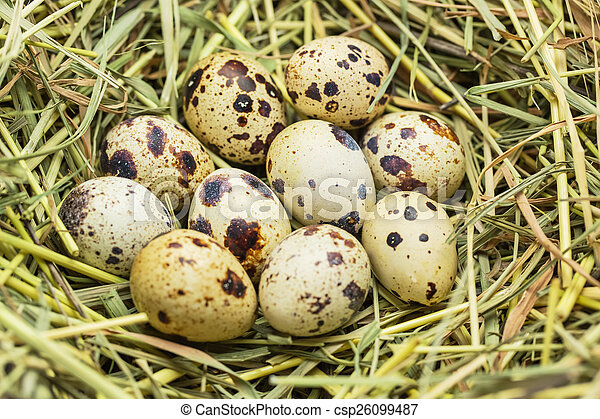 Quail eggs in a straw nest - csp26099487