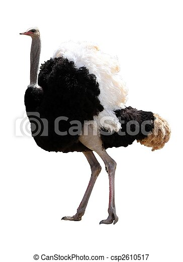 Male Ostrich Isolated - csp2610517