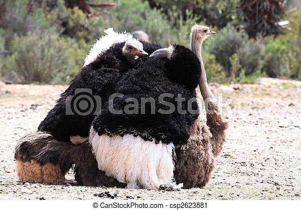 Mating Ostriches - csp2623881
