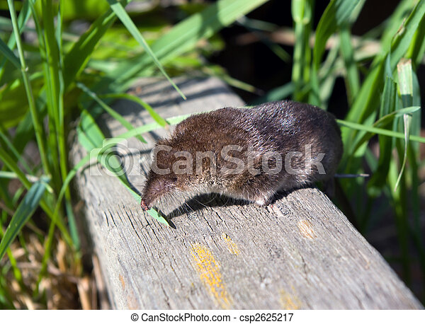 Zambales Shrew Rat Picture of shre...