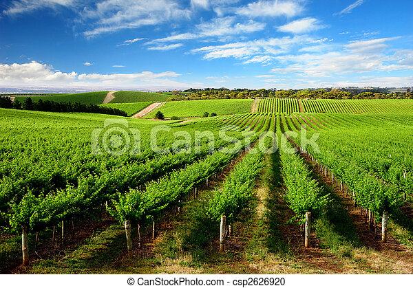 vingård, träd, kulle, en - csp2626920