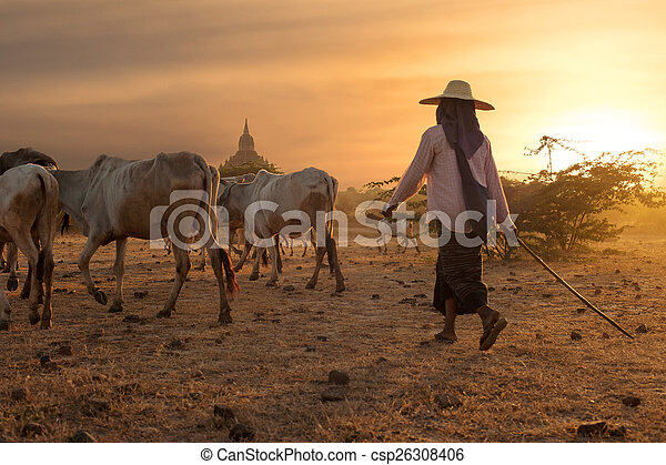 Burmese herder leads cattle at Bagan. Myanmar (Burma) - csp26308406