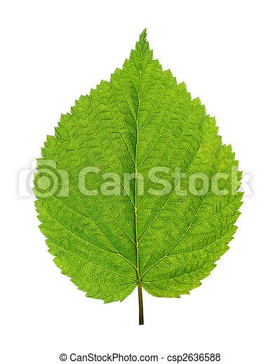 green leaf of birch tree - csp2636588