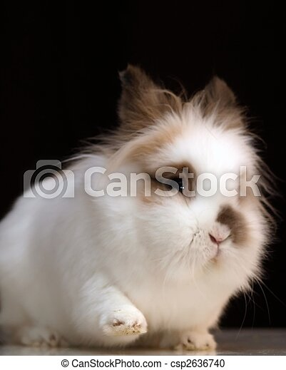 Portrait of a white lionhead bunny sitting and lifting the right front foot as a greeting gesture