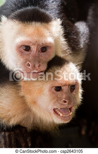 Capuchin monkey with youngster on her back - csp2643105