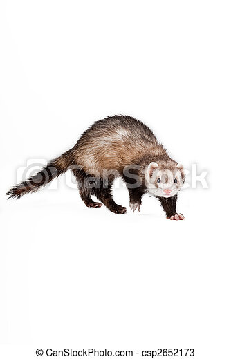 Ferret isolated - csp2652173