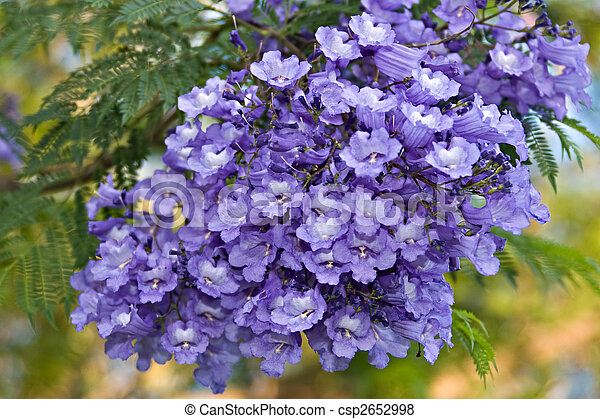 Jacaranda tree is native in Tropical America, with ferny leaves and ...
