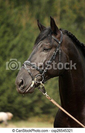 Black sport horse portrait with bridle