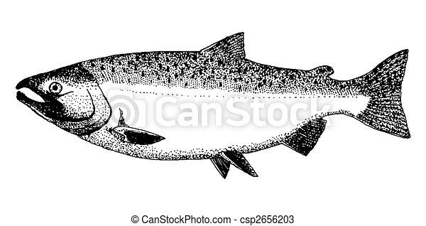 Silver or Coho Salmon - csp2656203