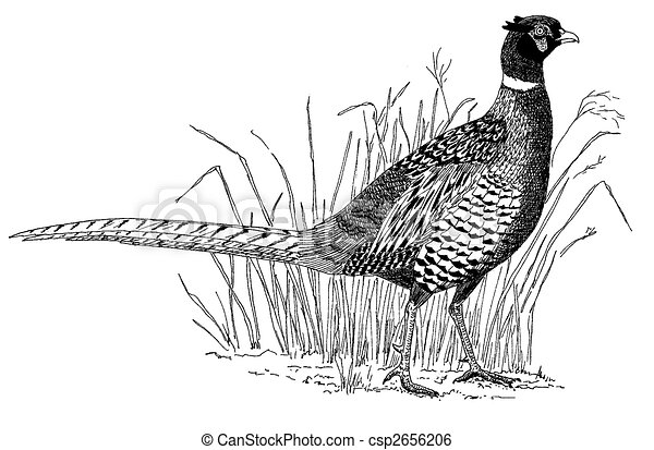 Ring-necked Pheasant - csp2656206