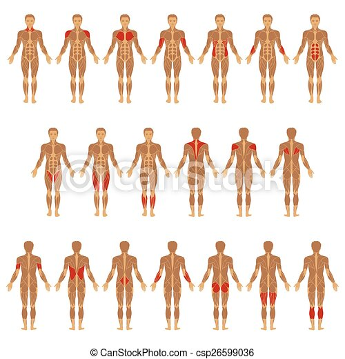vectors of body, muscle - vector muscular human body, muscle man, Muscles